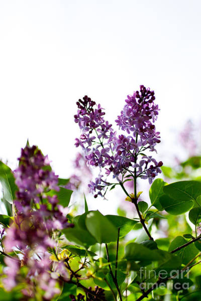 Wall Art - Photograph - Lilac by Kati Finell