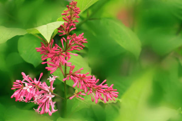Wall Art - Photograph - Lilac (syringa Patula) by Maria Mosolova/science Photo Library