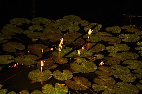 Atherton Tablelands Photograph - Lily By Night by Lee Stickels