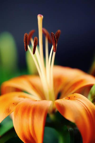Blume Photograph - Lily by Falko Follert