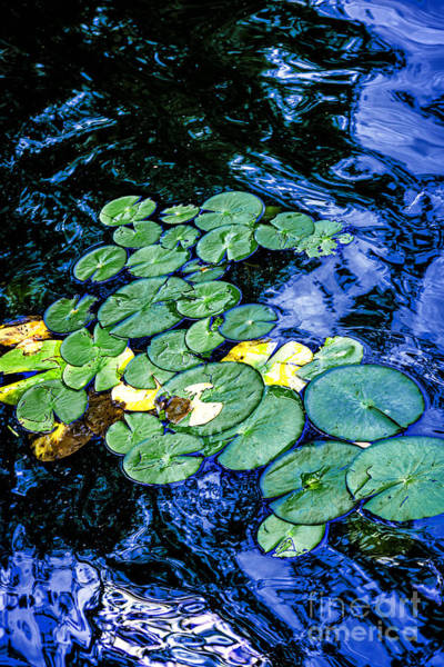 Wall Art - Photograph - Lily Pads by Elena Elisseeva