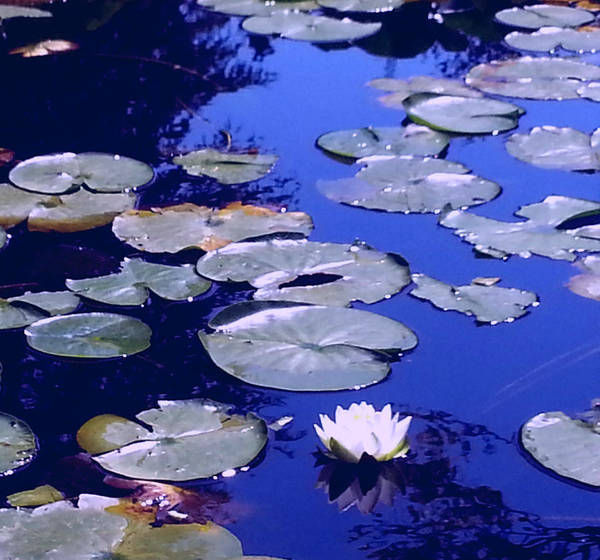 Photograph - Lily Pond by Nikki Dalton