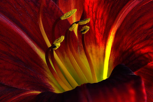Photograph - Lily by Walt Sterneman