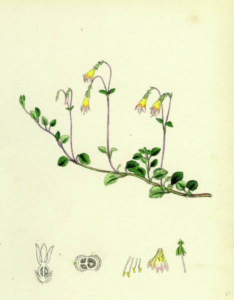 Wall Art - Drawing - Linnaea Borealis Two-flowered Linnaea by English School