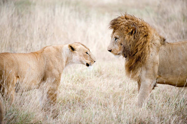 Battle Field Photograph - Lion And A Lioness Panthera Leo by Panoramic Images