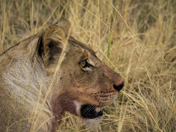 Okavango Delta Photograph - Lion Panthera Leo With Bloody Mouth by Panoramic Images