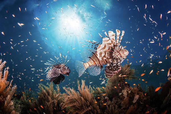 Danger Photograph - Lionfish by Barathieu Gabriel