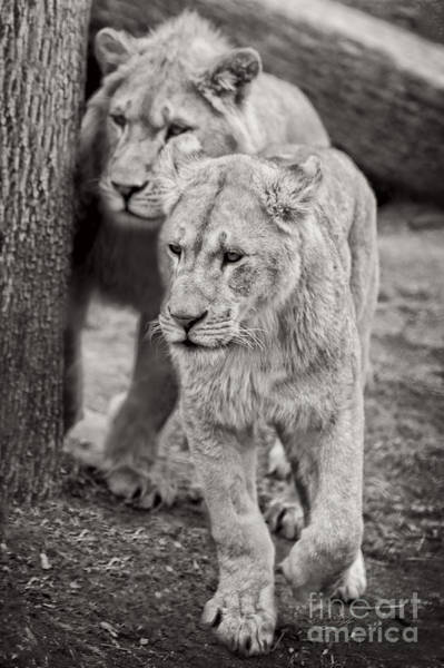 Wall Art - Photograph - Lions by HD Connelly