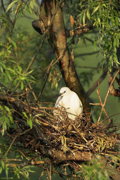 Birds Nest Photograph - Little Egret (egretta Garzetta by Martin Zwick