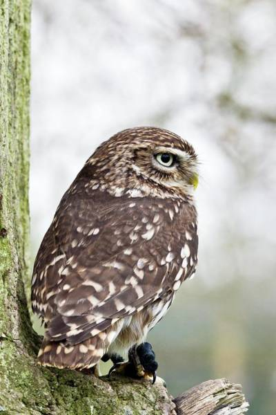 Strigidae Photograph - Little Owl by Gustoimages/science Photo Library