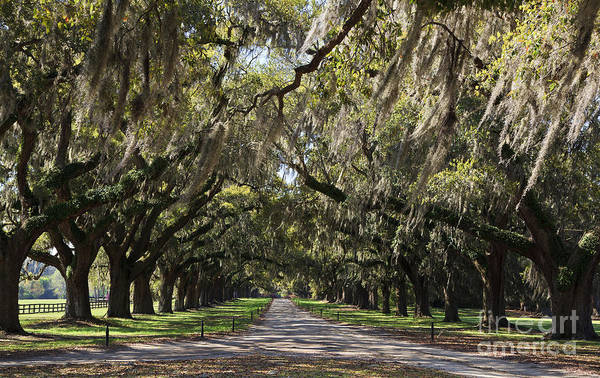 Photograph - Live Oaks by Jill Lang
