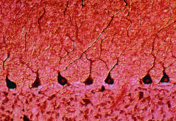 Nerve Cell Photograph - Lm Of A Nerve Tissue From The Cerebellum by Astrid & Hanns-frieder Michler/science Photo Library