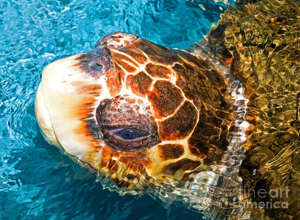 Photograph - Loggerhead Sea Turtle by Millard H Sharp
