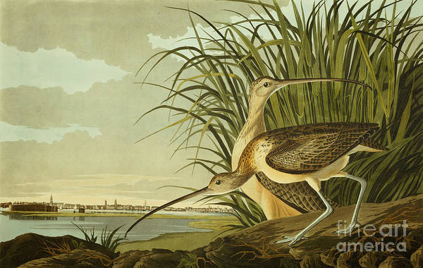 Painting - Long Billed Curlew by Celestial Images