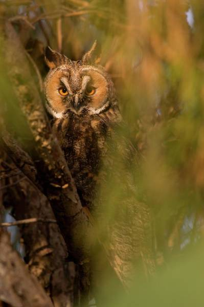 Strigidae Photograph - Long-eared Owl (asio Otus) by Photostock-israel/science Photo Library