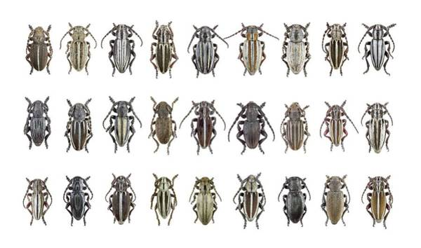 Coleoptera Photograph - Longhorn Beetles by F. Martinez Clavel