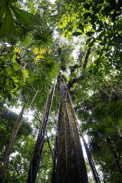 Liana Photograph - Looking Up To Rainforest Canopy Costa by Hiroya Minakuchi
