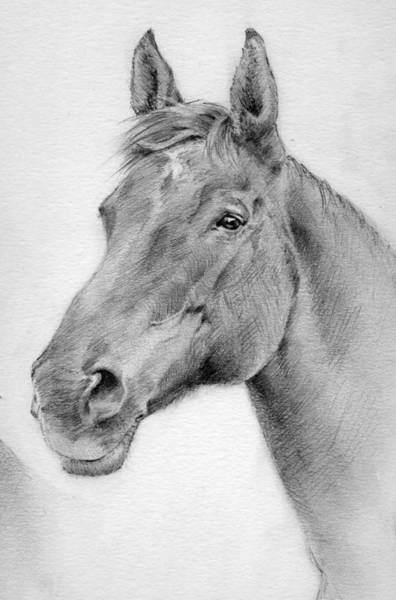Warmbloods Drawing - Loppy by Gill Kaye