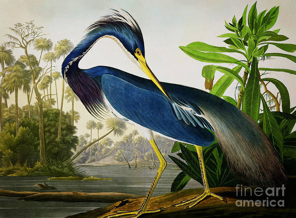 Drawing - Louisiana Heron by Celestial Images