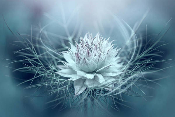Wall Art - Photograph - Love-in-a-mist by Jacky Parker