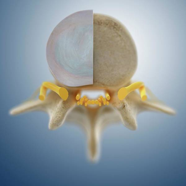 Vertebrae Photograph - Lumbar Vertebra (l3) by Springer Medizin