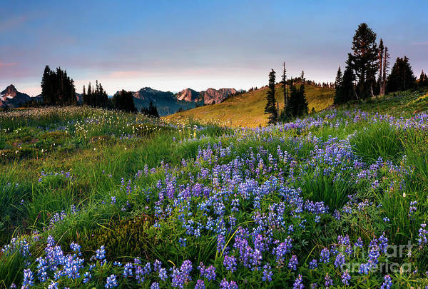 Wall Art - Photograph - Lupine Sunrise by Mike Dawson