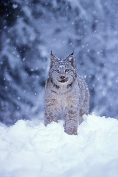 Wall Art - Photograph - Lynx In The Snowy Takshanuk Mountains by Steven J. Kazlowski / GHG