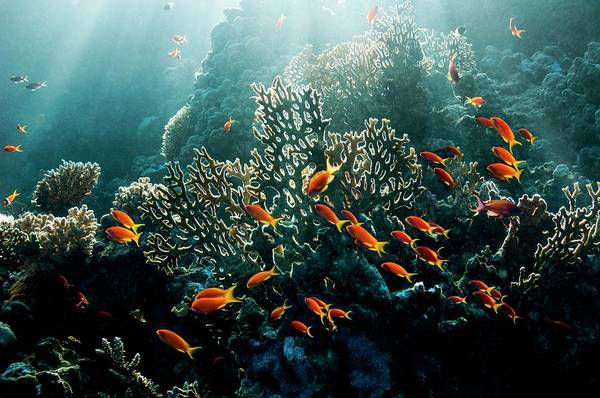 Wall Art - Photograph - Lyretail Anthias On A Reef by Georgette Douwma