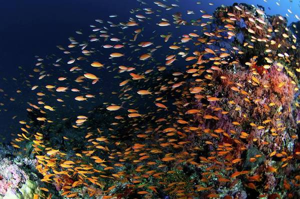 Wall Art - Photograph - Lyretail Anthias On A Reef by Scubazoo/science Photo Library