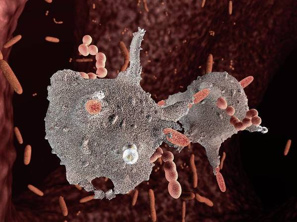 Hematology Wall Art - Photograph - Macrophages Attacking Bacteria by Hipersynteza