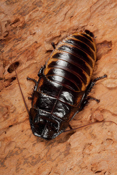 Madagascar Photograph - Madagascar Hissing Cockroach by Pascal Goetgheluck/science Photo Library