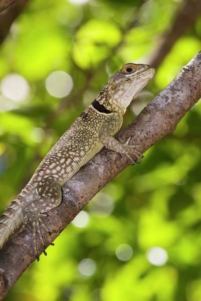 Iguana Photograph - Madagascar Spiny-tailed Iguana by Philippe Psaila/science Photo Library