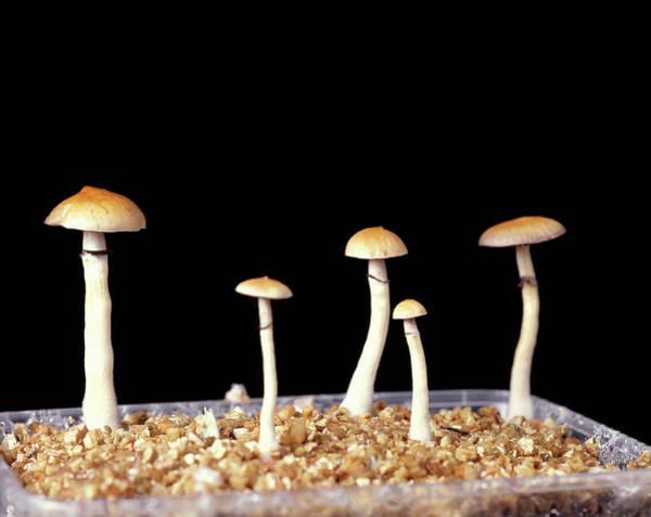Magic Kingdom Photograph - Magic Mushrooms by Adam Hart-davis/science Photo Library