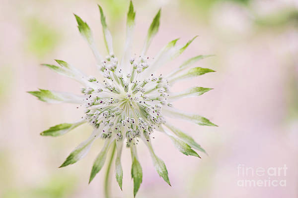 Astrantia Photograph - Magical Masterwort by Jacky Parker
