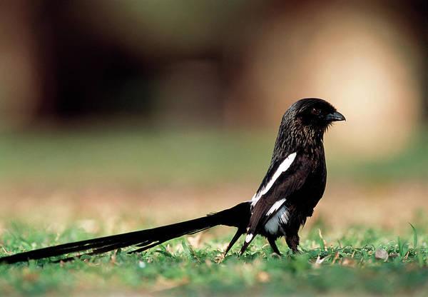 Long Tail Photograph - Magpie Shrike by Tony Camacho/science Photo Library