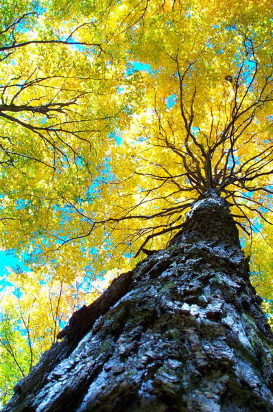 Acer Saccharum Photograph - Majestic Maple by Jake Barbour