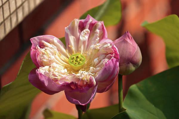 Nymphaea Lotus Photograph - Malaysia, Penang by Alida Latham