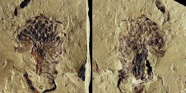Male Conifer Cone Fossil Art Print