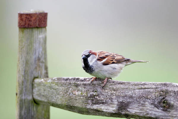 House Sparrow Photograph - Male House Sparrow by John Devries/science Photo Library