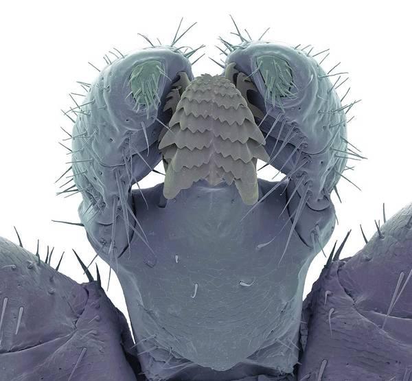 Arachnida Wall Art - Photograph - Male Lyme Disease Tick by Steve Gschmeissner/science Photo Library