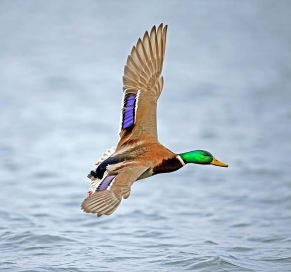 Anas Platyrhynchos Photograph - Male Mallard Landing On Water by Bildagentur-online/mcphoto-schulz
