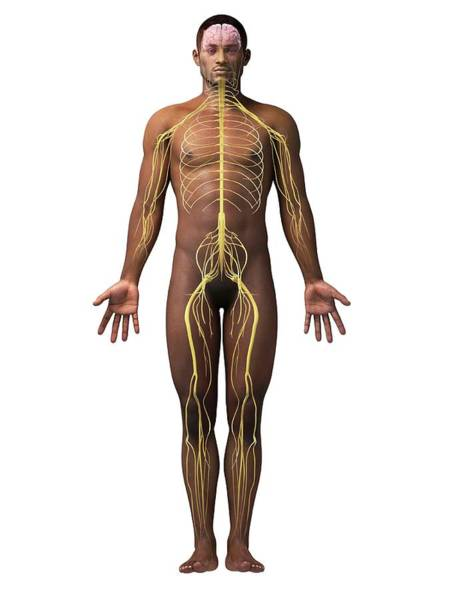 Nervous System Photograph - Male Nervous System by Sebastian Kaulitzki