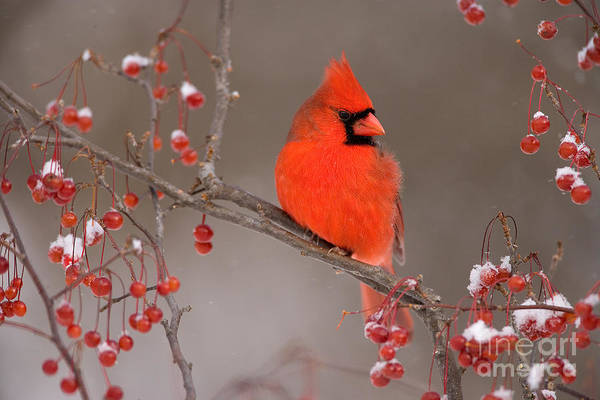 Photograph - Male Northern Cardinal by Marie Read