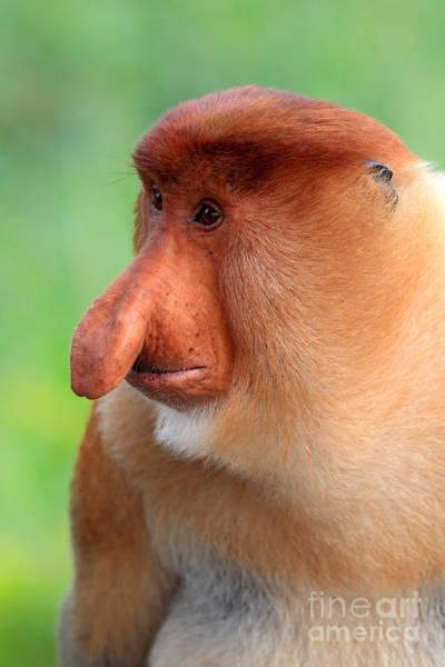 Nasalis Photograph - Male Proboscis Monkey by Sohns/Okapia