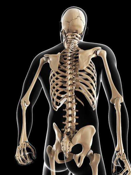 Normal Wall Art - Photograph - Male Skeleton by Sciepro/science Photo Library