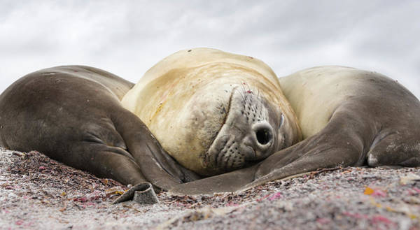 Male Southern Elephant Seal Art Print