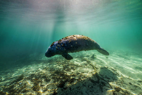 West Indian Manatee Photograph - Manatee In Crystal River, Florida by Jennifor Idol