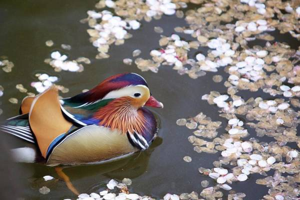 Mandarin Duck Photograph - Mandarin Duck by Jasohill Photography