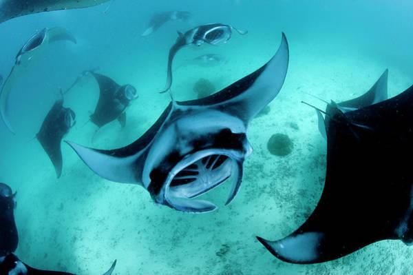 Manta Rays Photograph - Manta Rays by Michael Aw