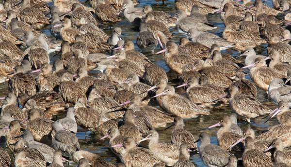 Wall Art - Photograph - Marbled Godwits And Willets by Bob Gibbons/science Photo Library
